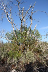 Preserve, madrone regrowing
