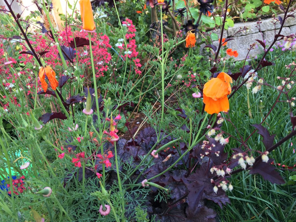 heuchera and poppy
