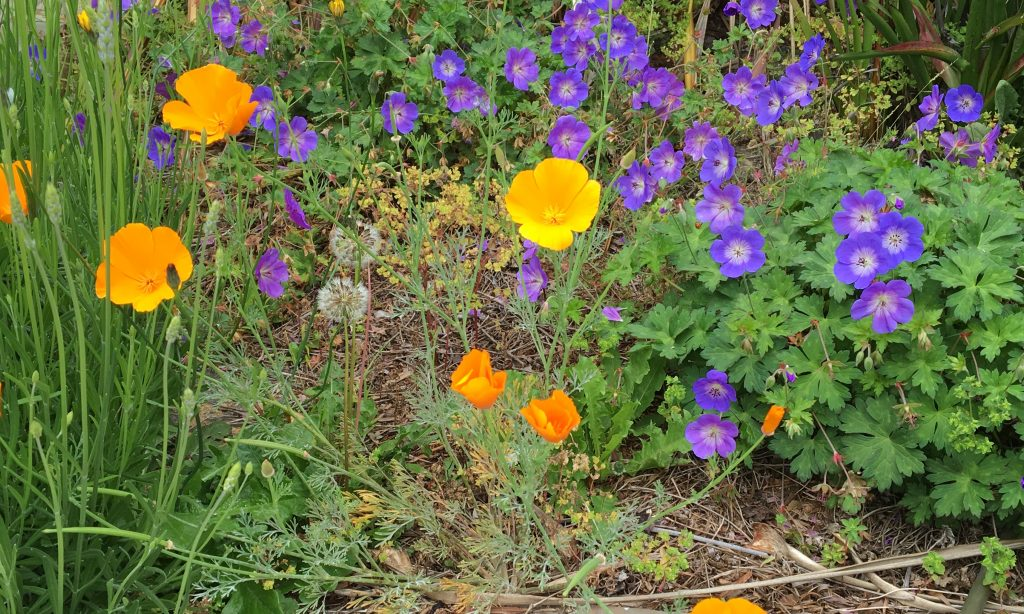 poppies and geranium cropped